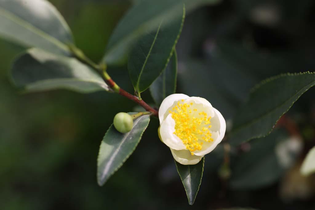 צילום, חינם גשמי, נוף, מדמין, צילום של מלאי ,עלה תה ירוק סיני, תה, תה ירוק, ,