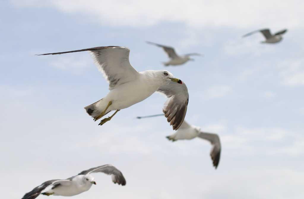 foto,tela,gratis,paisaje,fotograf�a,idea,Gaviotas volando en grupo, Gaviota, Cielo, Mar, Gaviota
