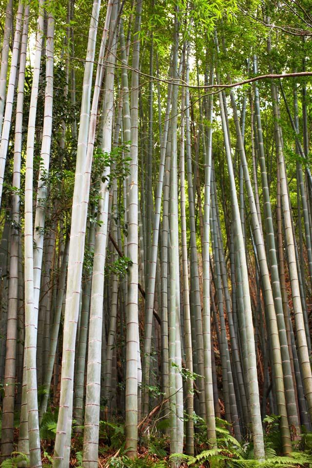 foto,tela,gratis,paisaje,fotografía,idea,Temple Takebayashi de Zuisen - ji, Chaitya, Jardín Zen Budismo -like, Kamakura, Bambú