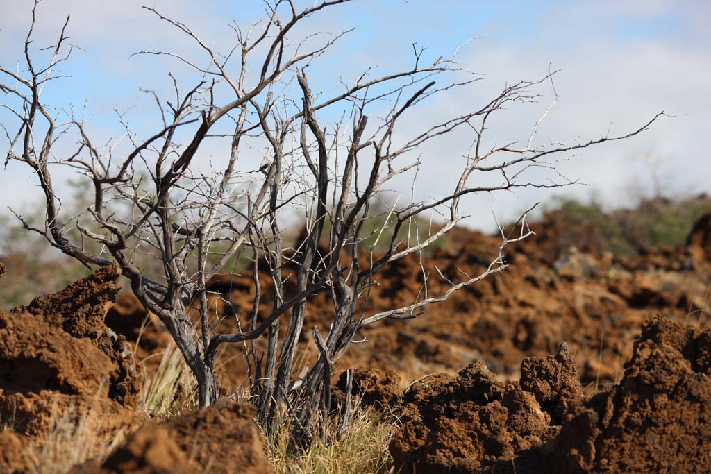 photo,material,free,landscape,picture,stock photo,Creative Commons,The tree which grows in the lava, Green, Brown, Lava, branch