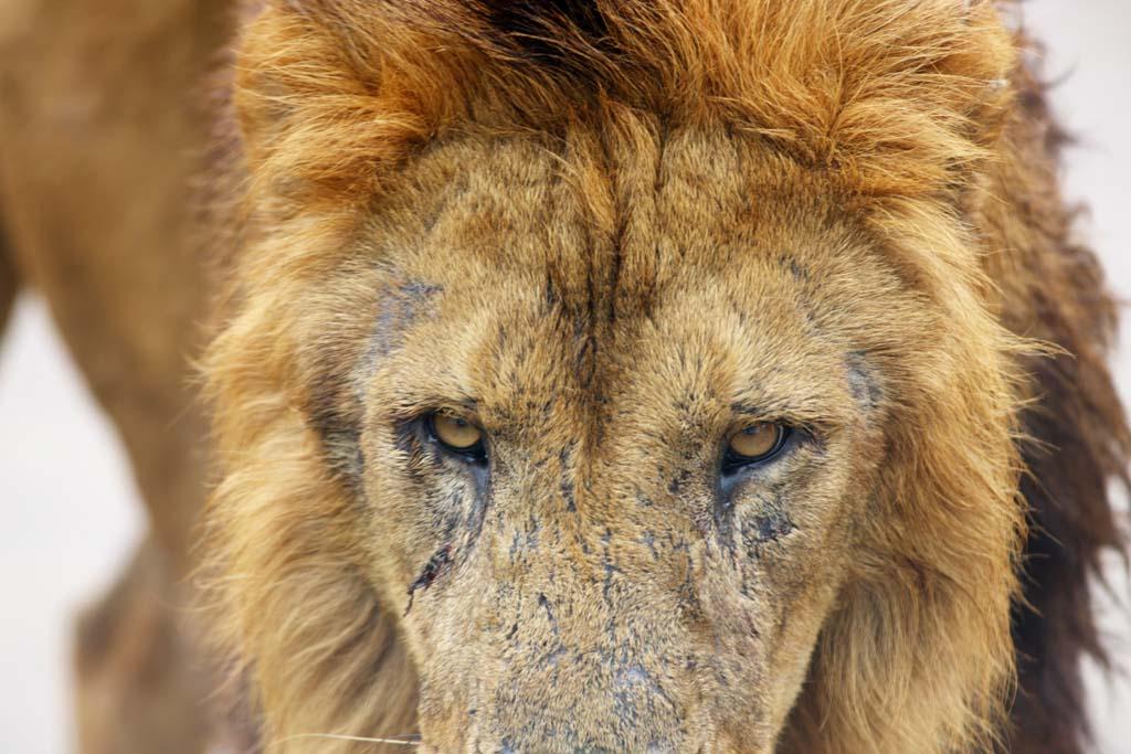 写真,素材,無料,フリー,フォト,クリエイティブ・コモンズ,風景,壁紙,ライオン, 獅子, ライオン, ,