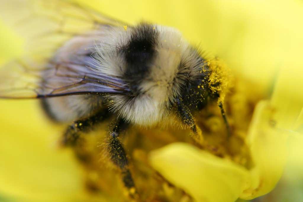写真,素材,無料,フリー,フォト,クリエイティブ・コモンズ,風景,壁紙,ハチと花粉, はち, 蜂, ハチ, 花粉