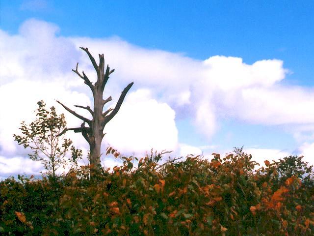 写真,素材,無料,フリー,フォト,クリエイティブ・コモンズ,風景,壁紙,枯れ木と青空と雲, , , ,