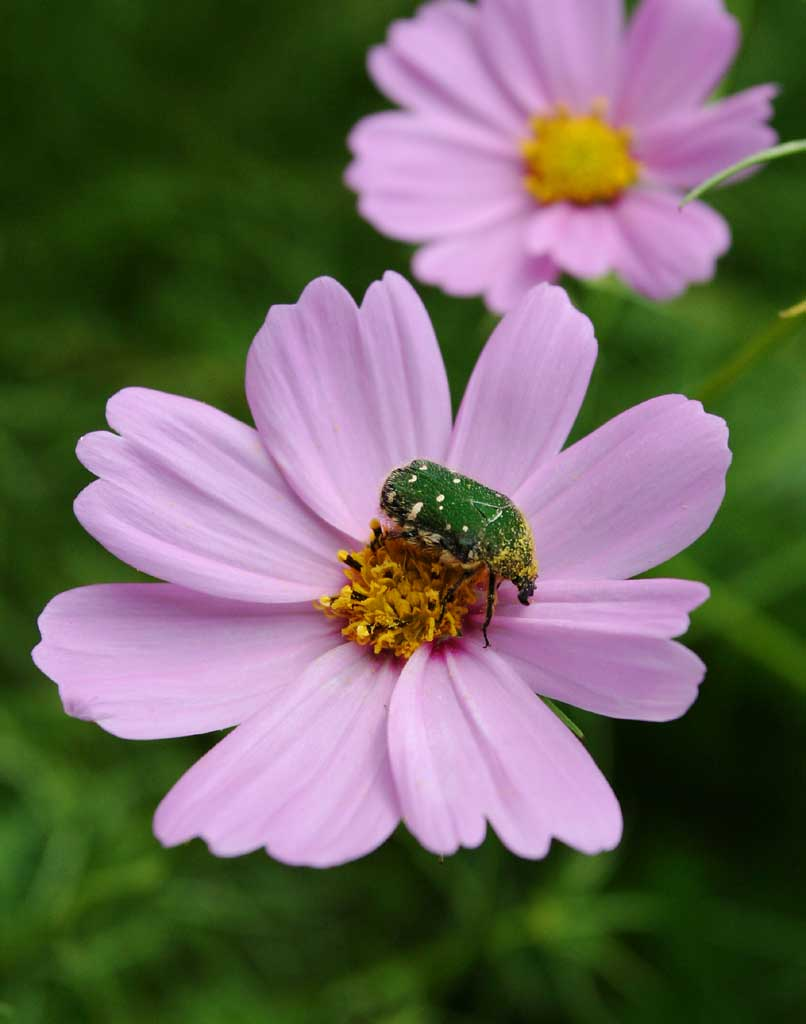 photo,material,free,landscape,picture,stock photo,Creative Commons,Delicious cosmos , green, beetle, pollen, pink