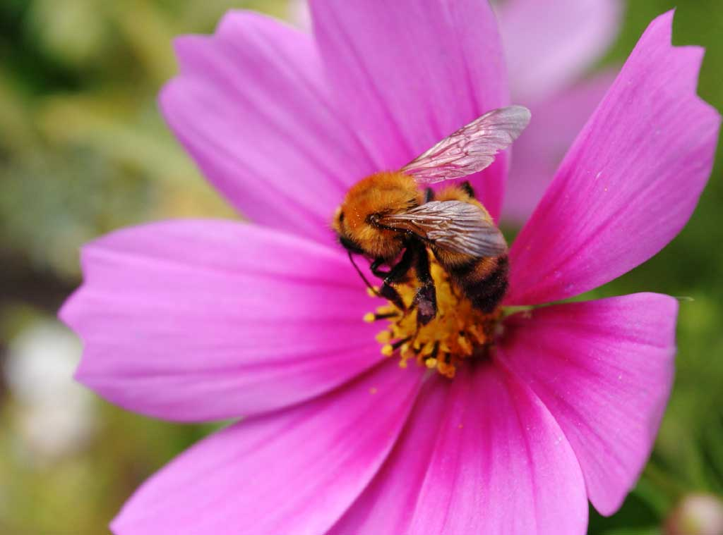 photo,material,free,landscape,picture,stock photo,Creative Commons,Delicious cosmos , bee, , Bee, cosmos