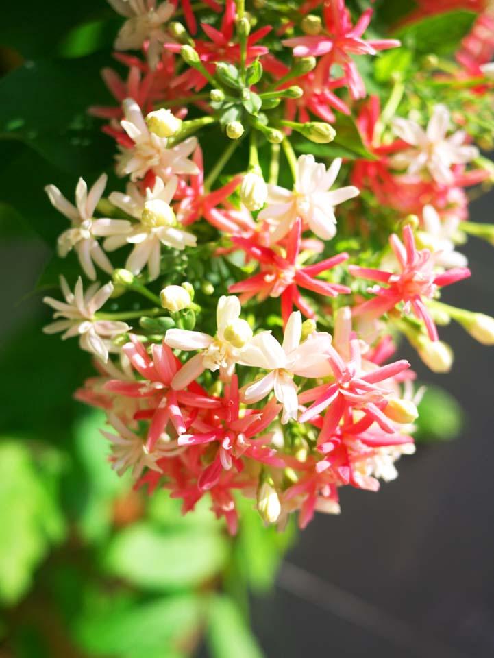 写真,素材,無料,フリー,フォト,クリエイティブ・コモンズ,風景,壁紙,赤と白の花, , , ,