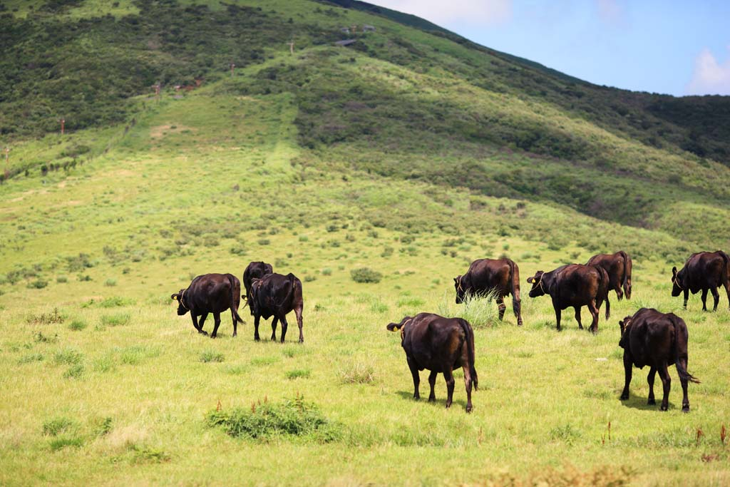 photo,material,free,landscape,picture,stock photo,Creative Commons,Cattle of Mount Aso, , , ,