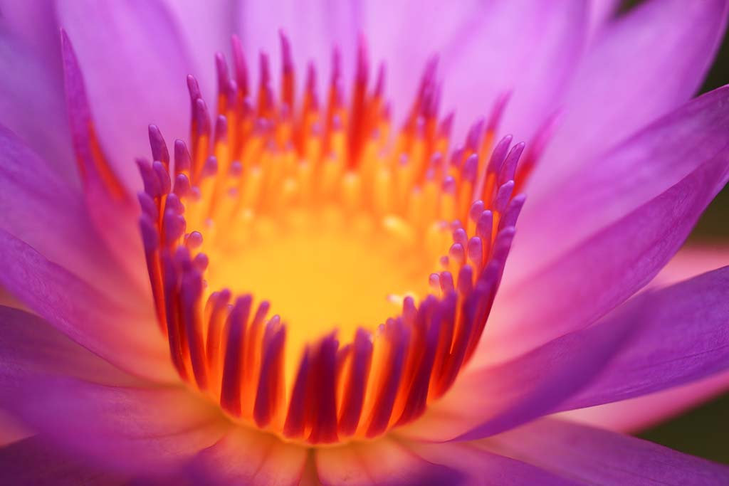 photo,material,free,landscape,picture,stock photo,Creative Commons,Water lily, , , ,