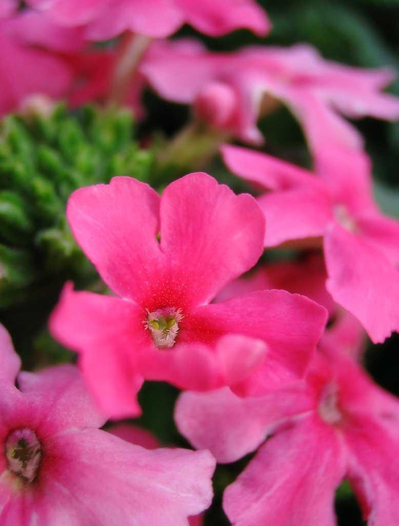 photo, la matière, libre, aménage, décrivez, photo de la réserve,Petites fleurs roses, rose, pétale, , gros plan