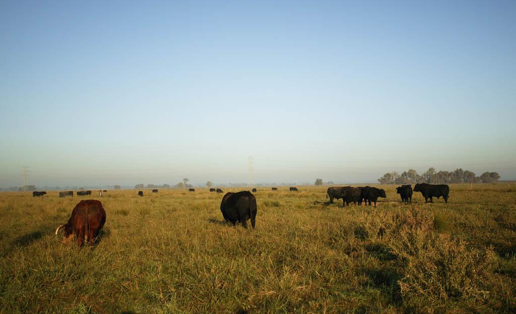 foto,tela,gratis,paisaje,fotografía,idea,Pueblo natal de carne de res estadounidense, Rancho, Vaca, Césped, Granja