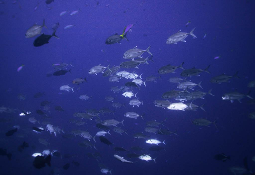 Foto, materieel, vrij, landschap, schilderstuk, bevoorraden foto,Een school van paard makreelen, Horsmakreel, , , Koraal