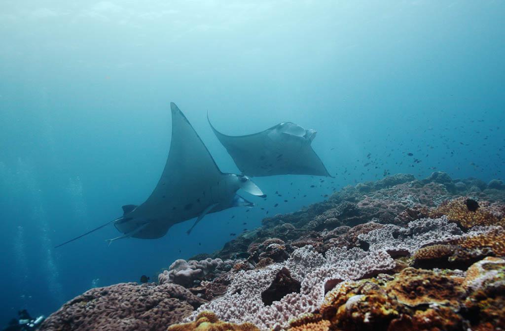 Foto, materieel, vrij, landschap, schilderstuk, bevoorraden foto,Het is een rendez-vous binnen het koraal rif, Manta, Koraal, In de zee, Onderwatere foto