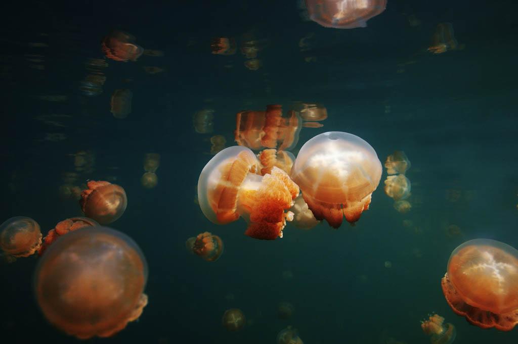 Foto, materieel, vrij, landschap, schilderstuk, bevoorraden foto,Een jellyfish overtocht, Kwal, , ,