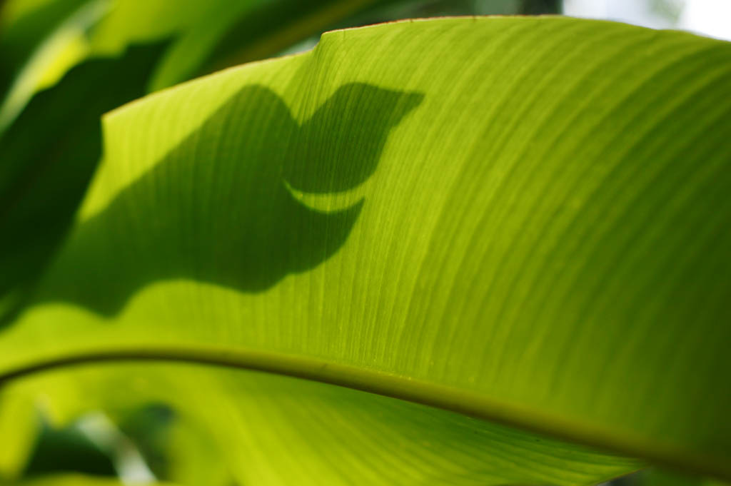 Foto, materiell, befreit, Landschaft, Bild, hat Foto auf Lager,Bildschirm eines tropischen gro�en Blattes, Banane, Blatt, Silhouette, Die tropische Zone