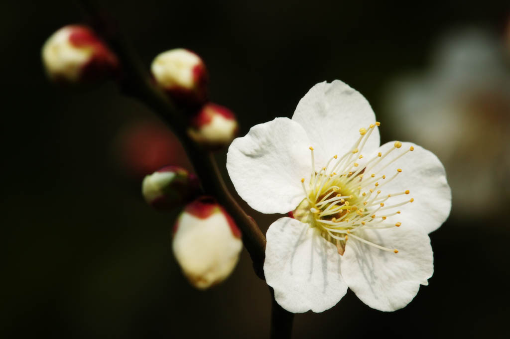 foto,tela,gratis,paisaje,fotograf�a,idea,Una flor de una ciruela, Blanco, Ciruela, , P�talo