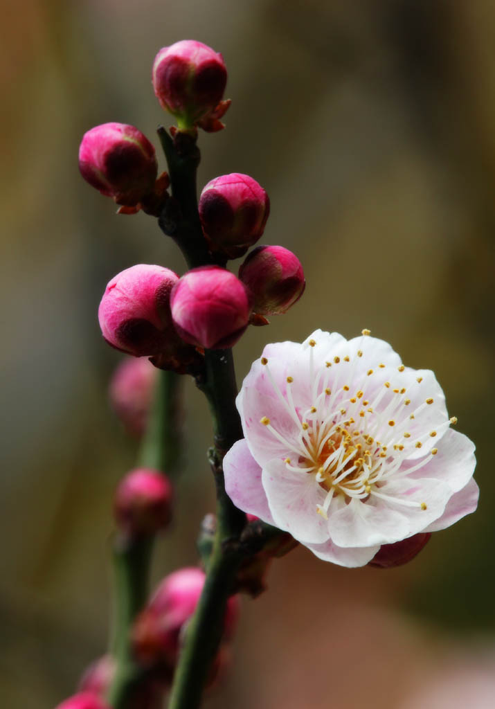 photo,material,free,landscape,picture,stock photo,Creative Commons,A flower of a Japanese apricot with red blossoms, Japanese apricot with red blossoms, plum, , petal