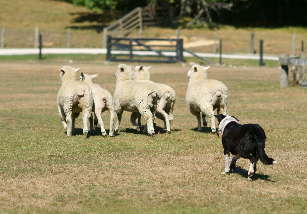 photo,material,free,landscape,picture,stock photo,Creative Commons,Sheep, , , ,