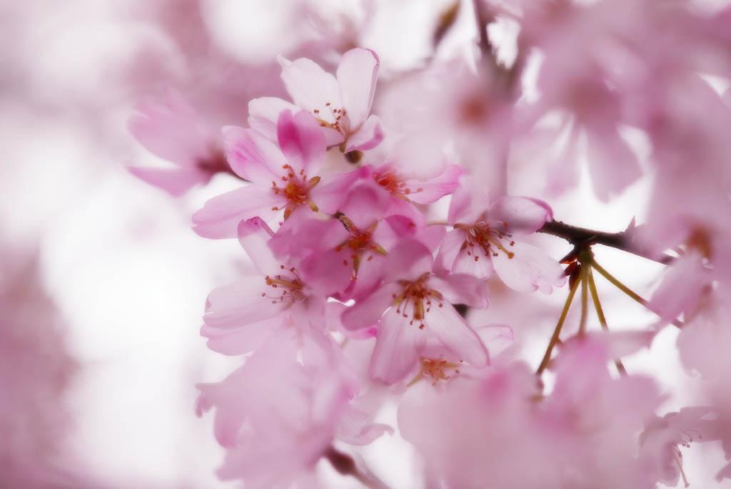 fotografia, materiale, libero il panorama, dipinga, fotografia di scorta,Spazio di un albero ciliegio e chino, albero ciliegio, albero ciliegio, albero ciliegio, Io appendo in gi�, e � richiamo