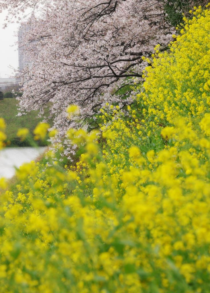 写真,素材,無料,フリー,フォト,クリエイティブ・コモンズ,風景,壁紙,菜の花に桜, 桜, さくら, サクラ, 菜の花