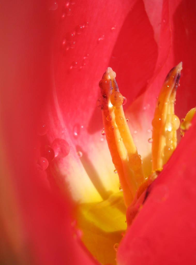 写真,素材,無料,フリー,フォト,クリエイティブ・コモンズ,風景,壁紙,深紅の春の殿堂, ちゅーりっぷ, チューリップ, オシベ, 水滴