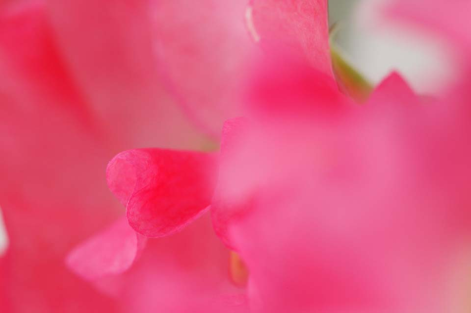 photo,material,free,landscape,picture,stock photo,Creative Commons,Love of sweet pea, Pink, Sweet pea, sweet pea, petal