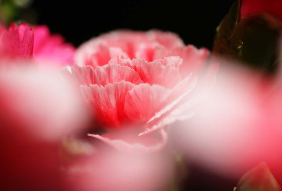 photo, la mati�re, libre, am�nage, d�crivez, photo de la r�serve,Rose imaginaire d'un oeillet, oeillet, bouquet, p�tale, Rose