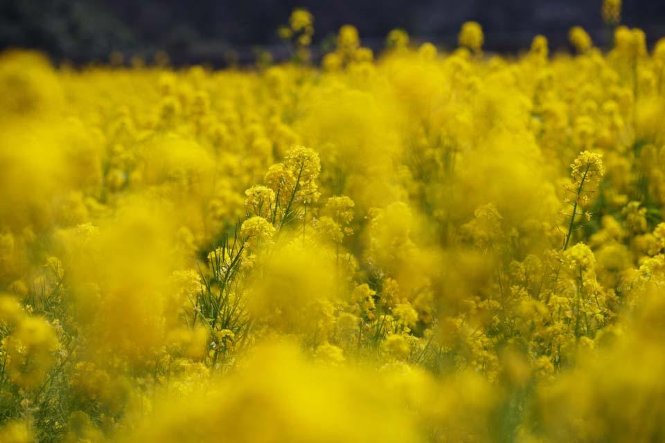 photo,material,free,landscape,picture,stock photo,Creative Commons,Rape flowers, rape flower, NanoHana, Yellow,