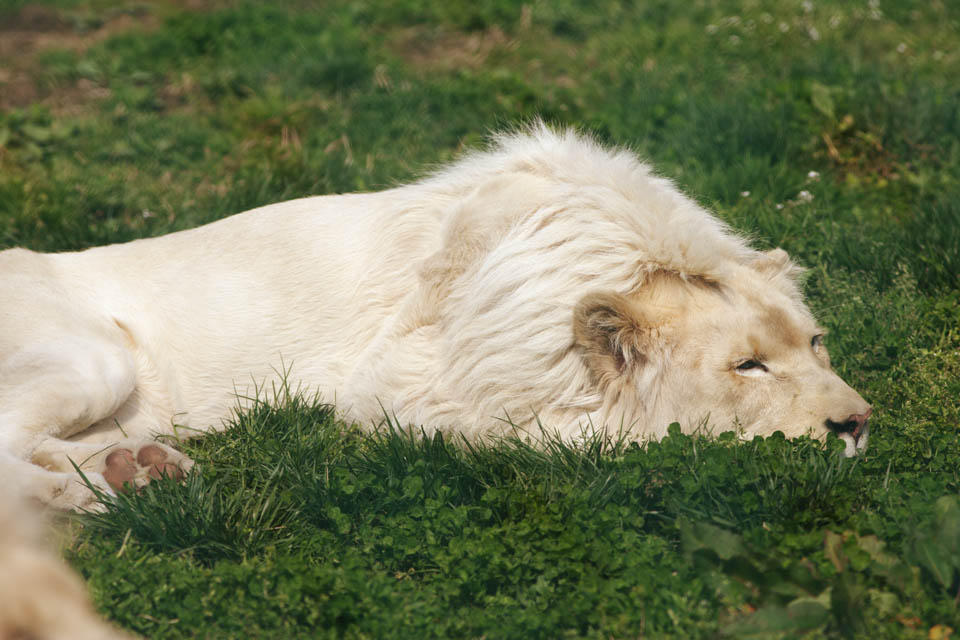 photo,material,free,landscape,picture,stock photo,Creative Commons,A white lion, white lion, , LION, king of beasts