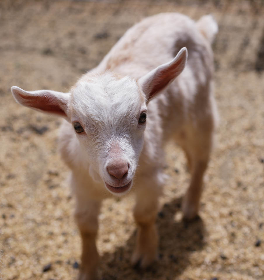 photo,material,free,landscape,picture,stock photo,Creative Commons,Butterfly Dai, goat, , , kid