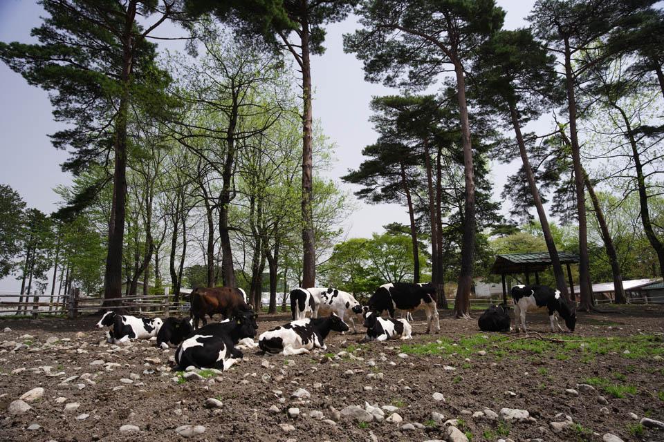 写真,素材,無料,フリー,フォト,クリエイティブ・コモンズ,風景,壁紙,牛のいる風景, うし, 牛, ウシ, ホルスタイン