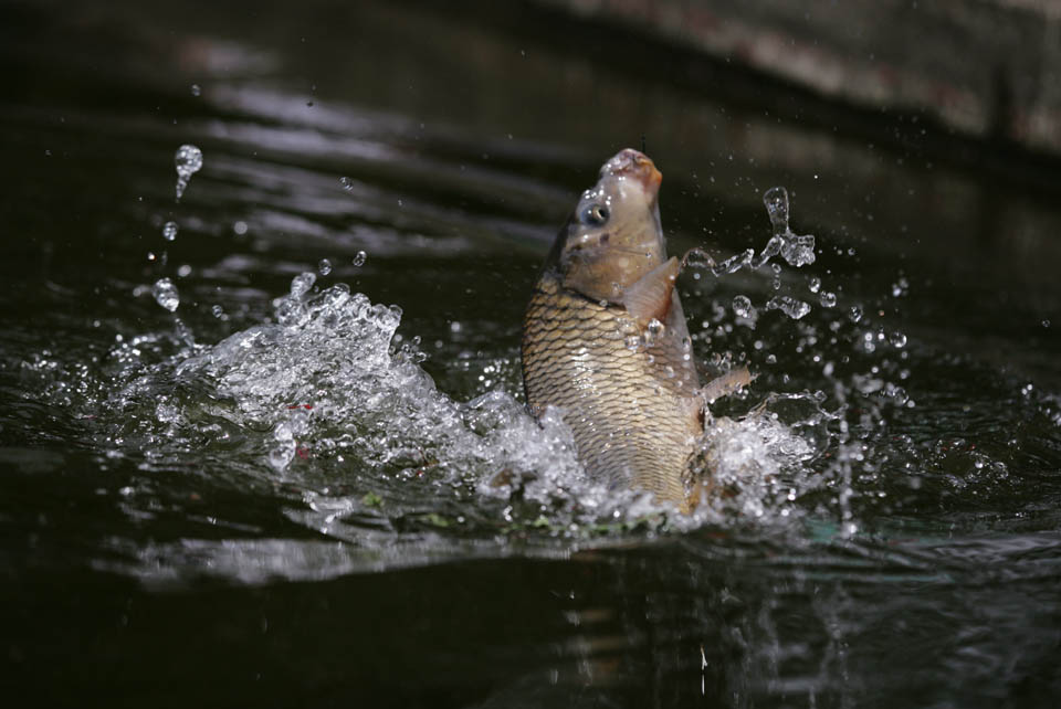 photo,material,free,landscape,picture,stock photo,Creative Commons,A fish!, carp, , Come, Fishing
