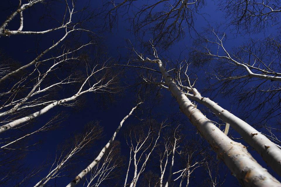 写真,素材,無料,フリー,フォト,クリエイティブ・コモンズ,風景,壁紙,白樺林の空, しらかば, シラカバ, 白樺, 青空