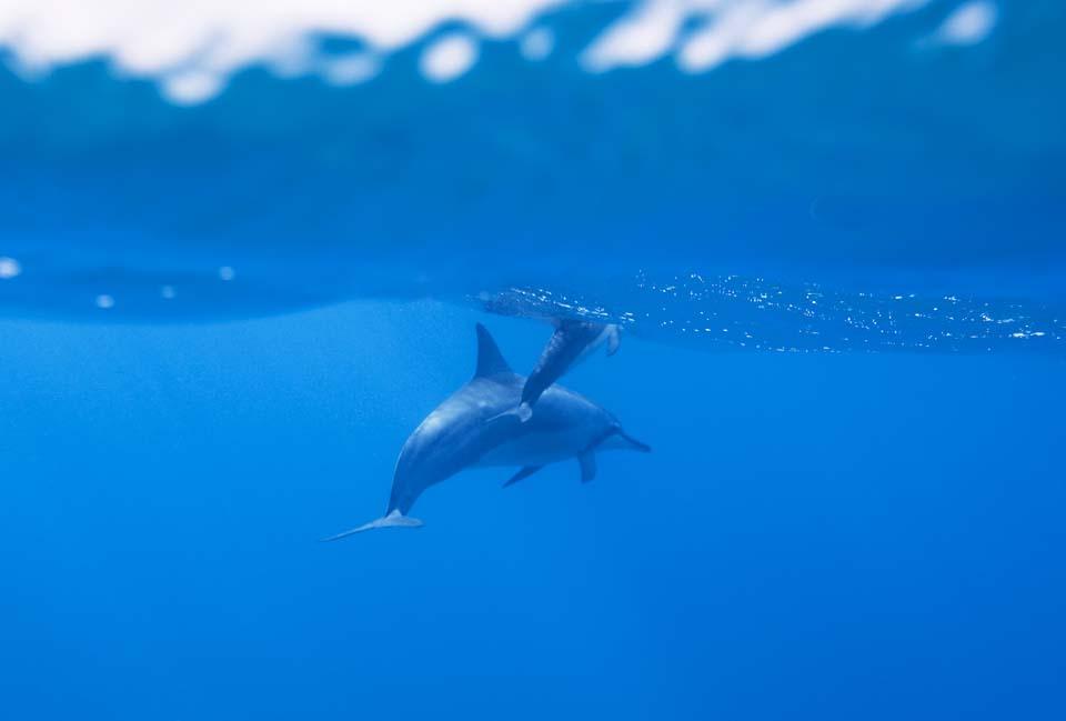 foto,tela,gratis,paisaje,fotograf�a,idea,Una multitud de delfines, �Hay m�?, Delf�n, Delf�n, En el agua