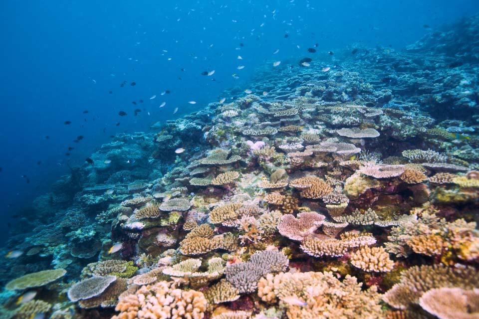 photo, la matière, libre, aménage, décrivez, photo de la réserve,L'atoll riche qui ouvre, récif corail, Corail, Dans la mer, photographie sous-marine