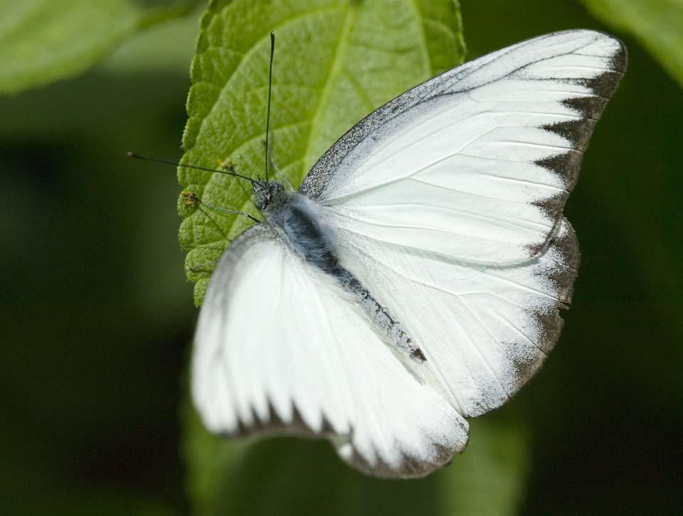 写真,素材,無料,フリー,フォト,クリエイティブ・コモンズ,風景,壁紙,白い蝶の休憩, ちょう, ちょうちょ, チョウ, 蝶
