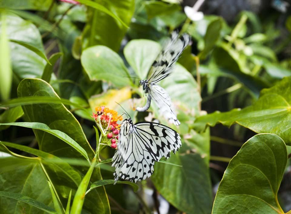 写真,素材,無料,フリー,フォト,クリエイティブ・コモンズ,風景,壁紙,オオゴマダラの求愛, ちょう, ちょうちょ, チョウ, 蝶