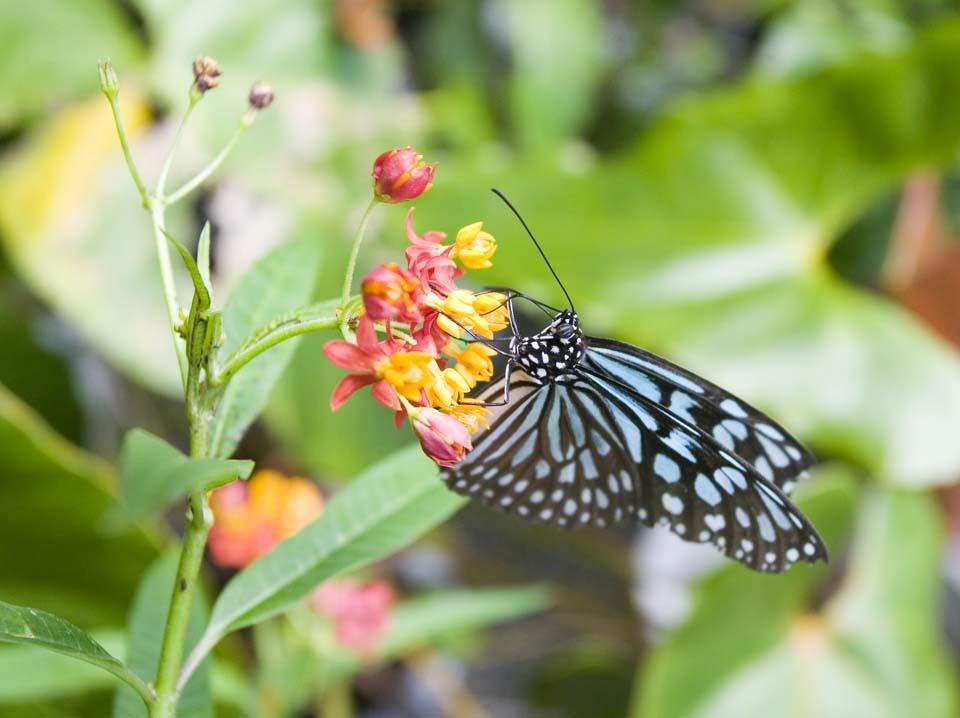写真,素材,無料,フリー,フォト,クリエイティブ・コモンズ,風景,壁紙,蝶のお食事, ちょう, ちょうちょ, チョウ, 蝶