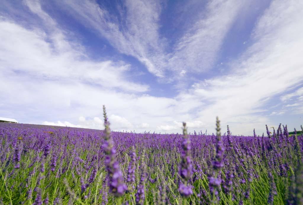 写真,素材,無料,フリー,フォト,クリエイティブ・コモンズ,風景,壁紙,一面のラベンダー, ラベンダー, 花畑, 青紫, ハーブ