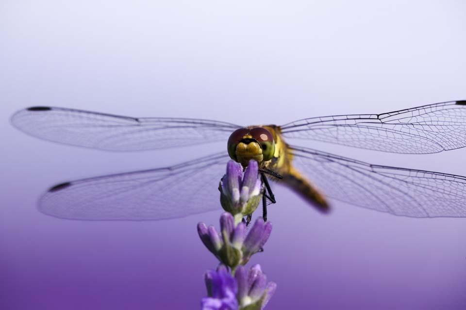 写真,素材,無料,フリー,フォト,クリエイティブ・コモンズ,風景,壁紙,ラベンダーにトンボ, とんぼ, トンボ, 蜻蛉, 羽根