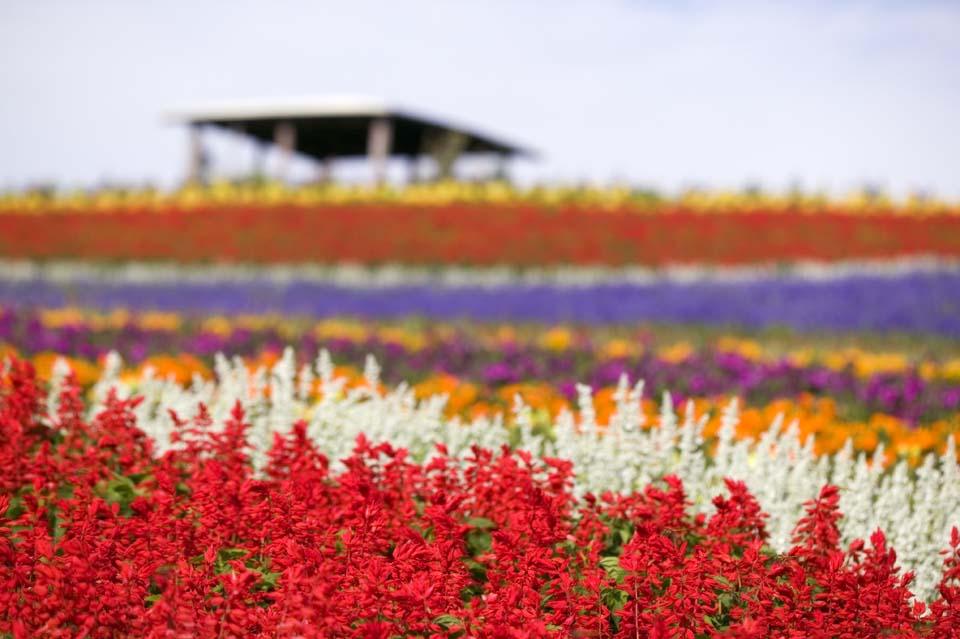 写真,素材,無料,フリー,フォト,クリエイティブ・コモンズ,風景,壁紙,花畑, サルビア, 花畑, 青紫, 赤