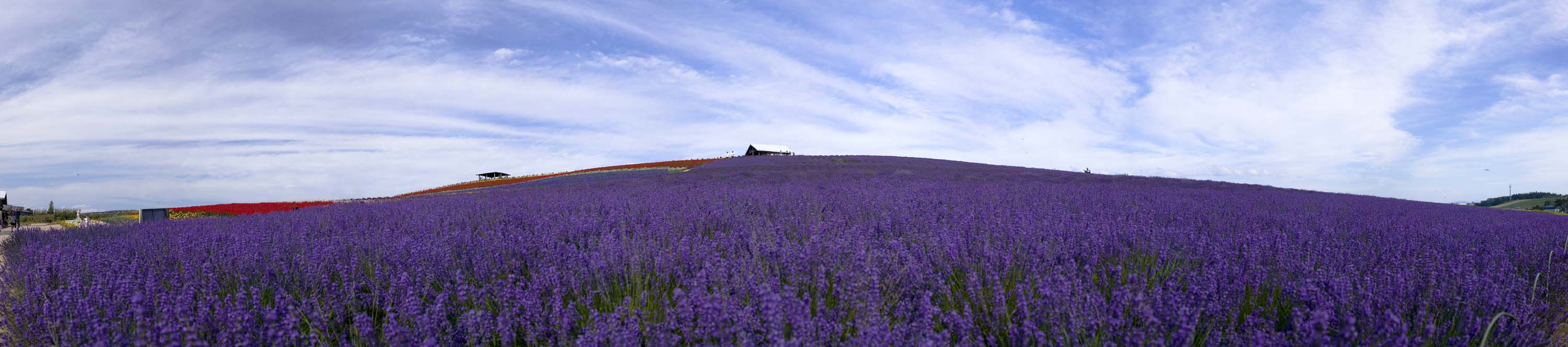 photo,material,free,landscape,picture,stock photo,Creative Commons,Lavender field whole view, lavender, flower garden, Bluish violet, Herb
