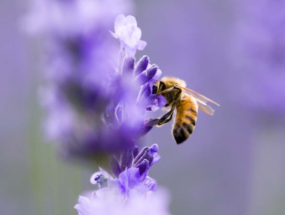 写真,素材,無料,フリー,フォト,クリエイティブ・コモンズ,風景,壁紙,ラベンダーに蜂, ラベンダー, みつばち, 蜜蜂, ミツバチ