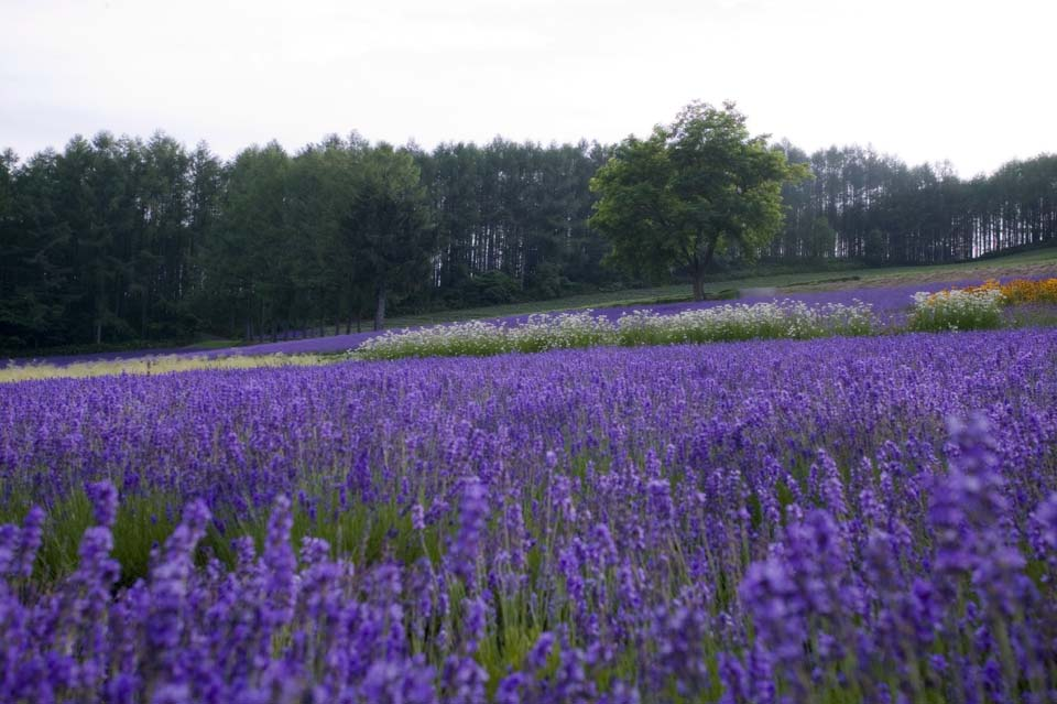 写真,素材,無料,フリー,フォト,クリエイティブ・コモンズ,風景,壁紙,夕暮れのラベンダー畑, ラベンダー, 花畑, 青紫, ハーブ
