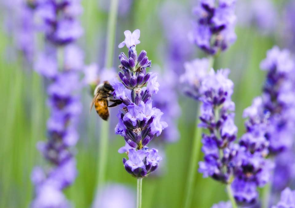 写真,素材,無料,フリー,フォト,クリエイティブ・コモンズ,風景,壁紙,ラベンダーにハチ, ラベンダー, みつばち, 蜜蜂, ミツバチ