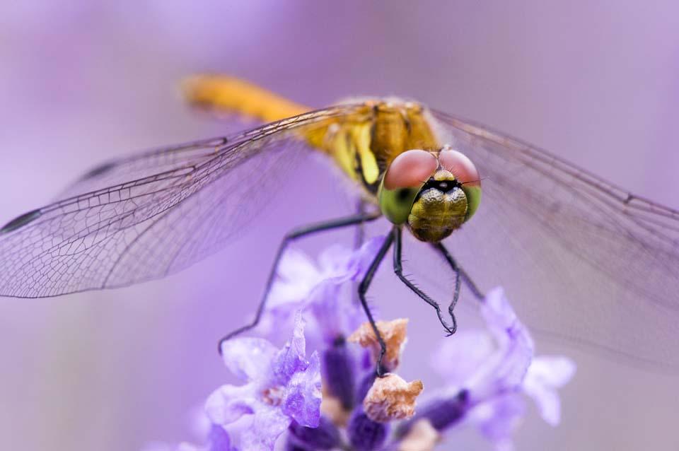 写真,素材,無料,フリー,フォト,クリエイティブ・コモンズ,風景,壁紙,ラベンダーに蜻蛉, とんぼ, トンボ, 蜻蛉, 羽根