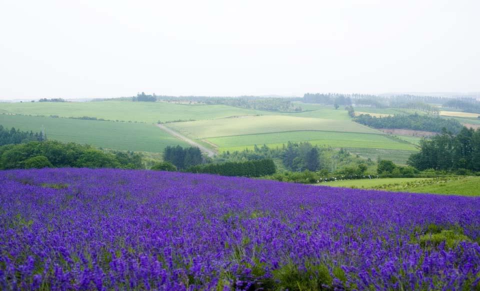 foto,tela,gratis,paisaje,fotografía,idea,Un campo lila, Lavanda, Jardín de flores, Violeta azulada, Herb