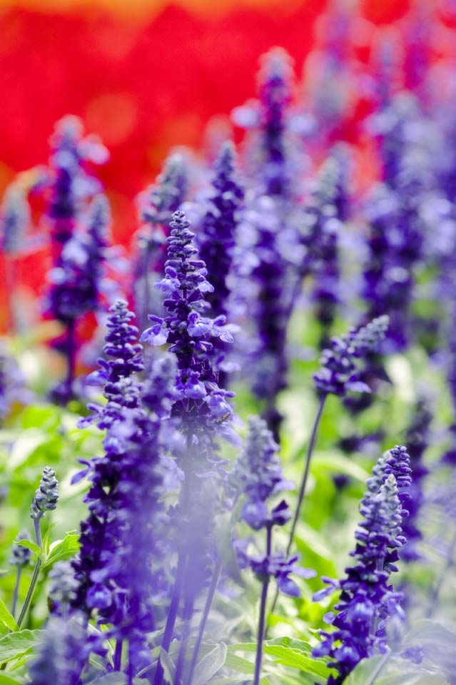 photo,material,free,landscape,picture,stock photo,Creative Commons,A blue sage, lavender, flower garden, Bluish violet, Herb
