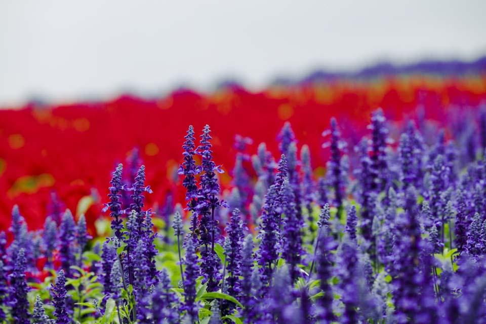 写真,素材,無料,フリー,フォト,クリエイティブ・コモンズ,風景,壁紙,ブルーサルビア, ラベンダー, 花畑, 青紫, ハーブ
