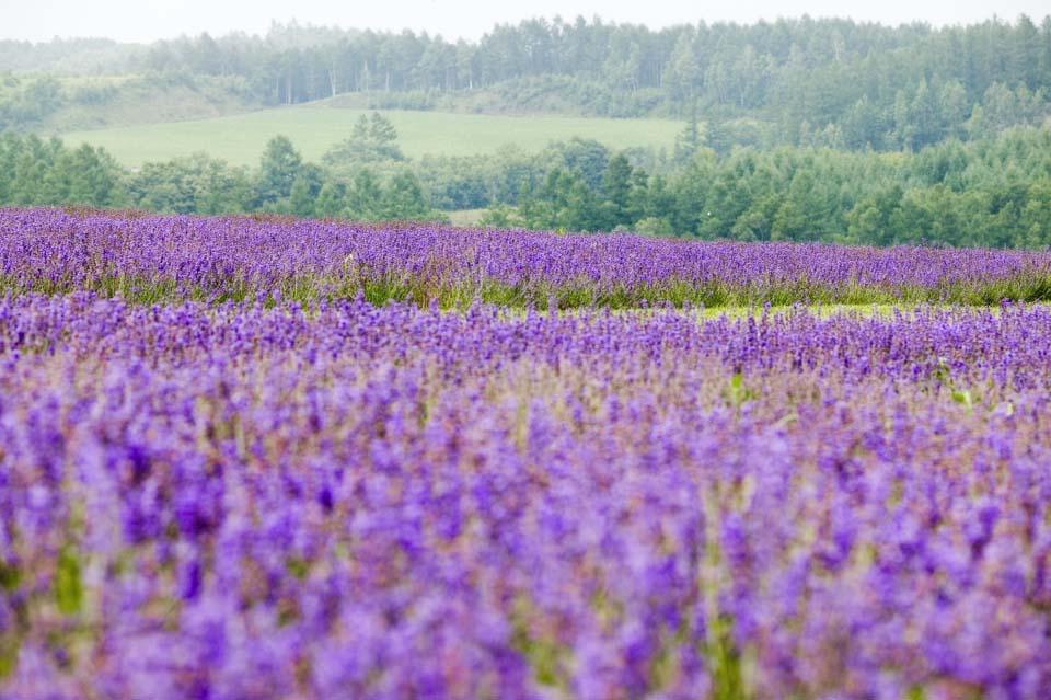 写真,素材,無料,フリー,フォト,クリエイティブ・コモンズ,風景,壁紙,ラベンダー畑, ラベンダー, 花畑, 青紫, ハーブ