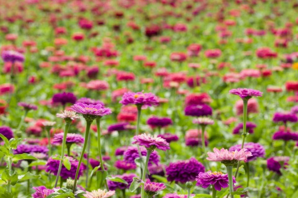 写真,素材,無料,フリー,フォト,クリエイティブ・コモンズ,風景,壁紙,百日草, 百日草, 赤紫, 花弁, 花